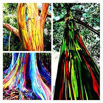 ASTONISH Erstaunen SEEDS: 100 Stück/seltene Regenbogen-Eukalyptus-Samen, Bonsai-Baum-Samen vergossen Hof Anlage für zu Hause Garten Bepflanzung packen