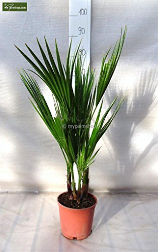 Washingtonia robusta MULTISTAMM - Mexikanische Washingtoniapalme - verschiedene Größen (70-90cm - Topf Ø 18cm)