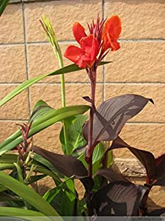 2 Australia Canna Bulbs Exotic Canna Lilies Suit for Many Landscaping Situations