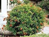 Melograno nano'Punica granatum nana' pianta in vaso ø9 cm