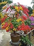 Vistaric Maceta de flores del balcón de las semillas coloridas de la buganvilla de 100pcs * Flores de las semillas del jardín en el árbol de la planta resistente de Bonsai Sementes. naranja