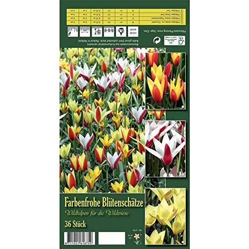 Florado 36x Wildtulpe Blumenzwiebeln 'Farbenfrohe Blütenschätze', Zwiebelblumen, Garten Kübel, Bienen Insekten Hummeln, Größe 6/+