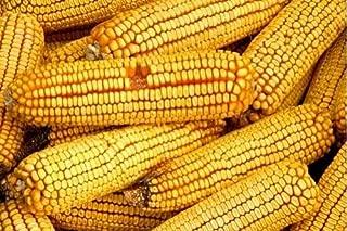 reid's yellow dent corn