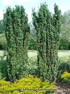 Japanese Sky 'Pencil Holly', evergreen upright, TEN plants