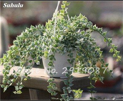 Pearl Chlorophytum Seeds 100 Pcs Hanging type de pot Chlorophytum fleurs Plantes d'intérieur air frais jardin résistant au froid 19