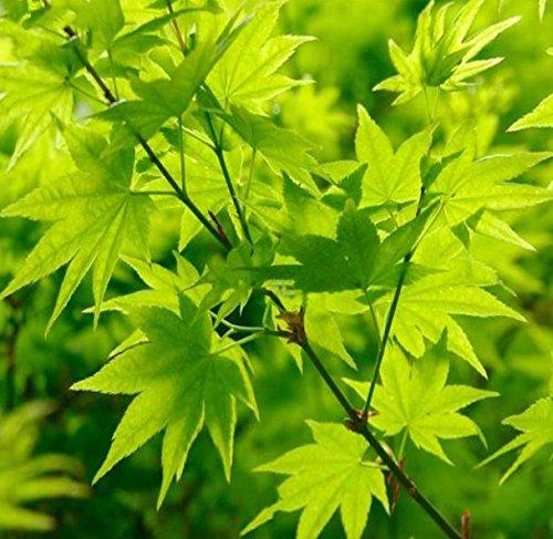 Ahorn palmatum Going Green - grüner asiatischer Fächerahorn - verschiedene Größen (50-60cm - Topf 3 Ltr.)