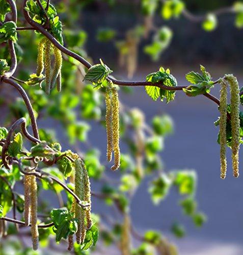 Haselnuss - Corylus avellana Garibaldi - Haselnuss Strauch - Gesamthöhe: 60-80cm Topf: 2 ltr. - 3