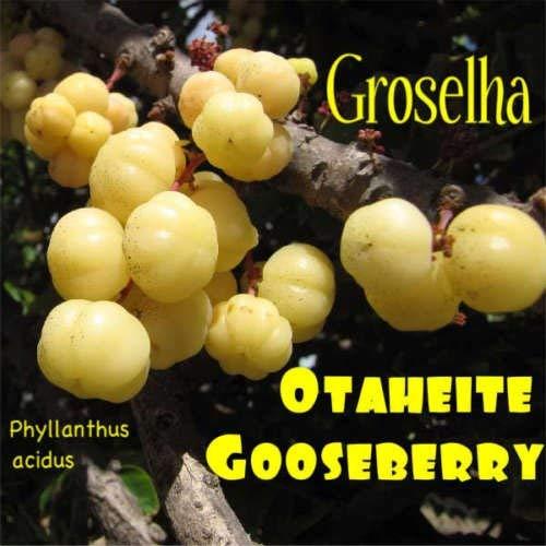 ~ Groselha TAHITIAN STACHELBEERE Stachelbeerbaum FRUIT TREE 10 RARE SEEDS USA