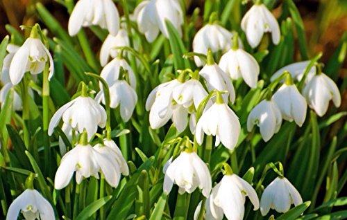 200PCS Galanthus nivalis Seed Schneeglöckchen Gefrieranlage Bonsai Blume BD103