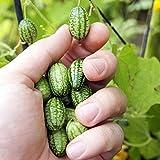 Qulista Samenhaus - Rarität Bio mini Wassermelone ertragreich | knackig Rankpflanzen Mexikanische Minigurkensamen exotisch Finger-Melonen Saatgut Essbar Obstsamen mehrjährig Winterhart