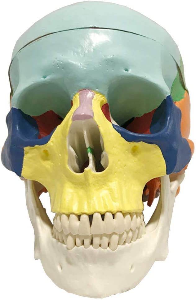 ALBB Anatomical Skull Model - Fort Worth Mall 4 years warranty Mode Human Colorful Resin