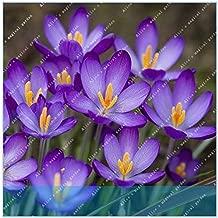 AGROBITS ZLKING 100PCS Hot Sale Many Varieties Saffron Saffron Flower Saffron Crocus It is Not The Saffron Bulbs