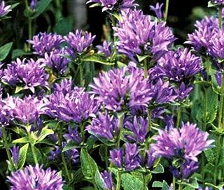 Risalana Bellflower Clustered Campanula Glomerata Acaulis - 500 Bulk Seeds
