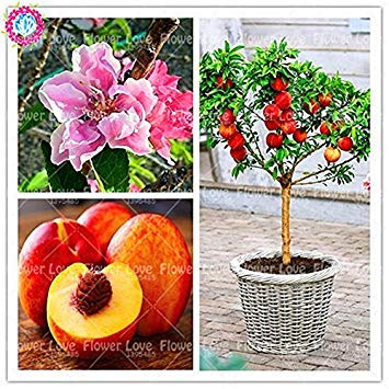 VISTARIC 5: Bonsai Lemon Tree Seed 50 Pcs/paquet Citrus limon Graines Fruit Jardin Terrasse verger à graines Ferme Citron Potted semences pour jardin 5