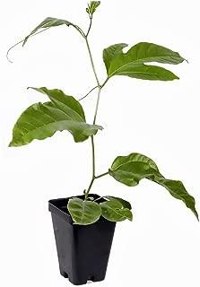 Possum Purple Edible Passion Vine Plant - Passiflora edulis - Exotic! - 4