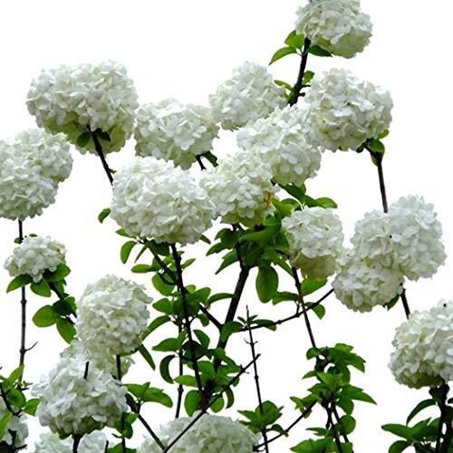 Swiftt 50 pz/borsa Ortensia Fiori Semi Giardino Pianta perenne Bonsai Sementi