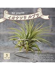 品種で選べる人気のエアプランツ!初心者にも育てやすく、リビングやオフィスのインテリアに!【造花ではありません。生きているエアープランツです。※商品の特性上、背丈・形・大きさ等、植物には個体差がありますが、同規格のものを送らせて頂いております。また、植物ですので多少の枯れ込みやキズ・折れ等がある場合もございます。予めご了承下さい】【即出荷/プライム 価格】
