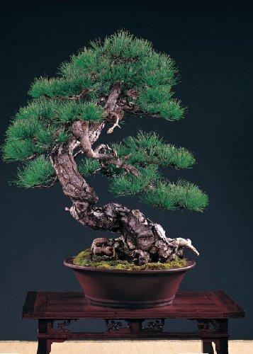 Tropica - Bonsai - Taiwanesische Rotkiefer (Pinus taiwanensis) - 40 Samen