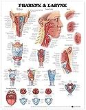 Carta anatómica de faringe y laringe