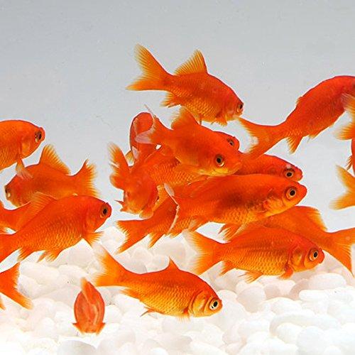 emuwai【生体】金魚 小赤 餌金 30匹 エサ用金魚 エサ用 観賞用