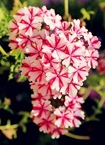 Hot verkoop 100 stuks Verbena hybrida bonsai, Verbena ingemaakt, overblijvende kruiden bloeiende planten voor huis en tuin indoor aanplant: 11