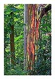 Regenbogenbaum - Eucalyptus deglupta (Bonsai geeignet) - 20 Samen