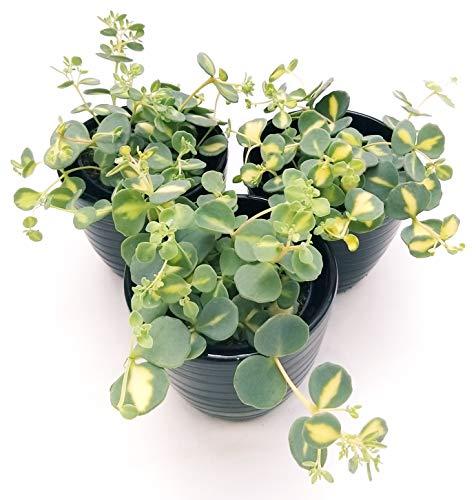 SEDUM SIEBOLDII VARIEGATO, 3 PIANTE, piante vere