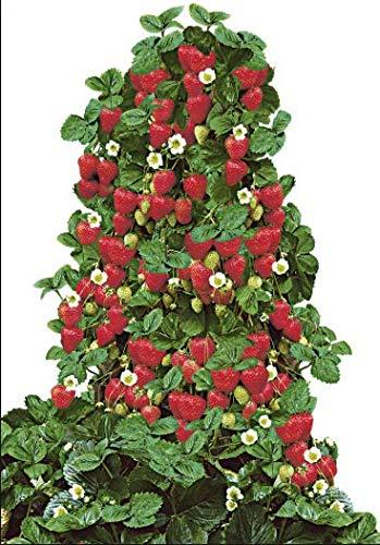 Qulista Samenhaus - Rarität Erdbeerbaum ertragreich groß & süß aromatisch im Geschmack | Klettererdbeere Hummi Obstsamen mehrjährig Winterhart im Beet & Kübel