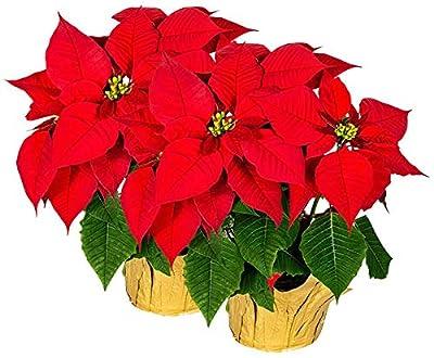 "Creative Displays Large Premier Silk Poinsettia Plant Christmas Decorations, Amazingly Lifelike, 17"" x 15"" (2 Poinsettias)"