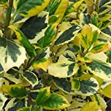 Ilex altaclerensis Golden King, Holly Hardy Tree, 1x in 9cm Pot by Thompson and Morgan (1)