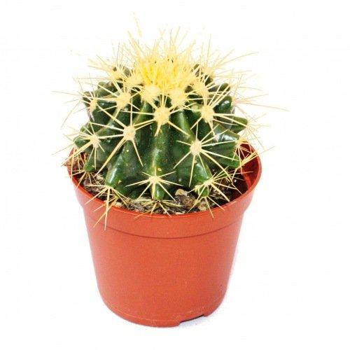 Echinocactus Grusonii – Coussin de belle-mère – Pot de 8,5 cm