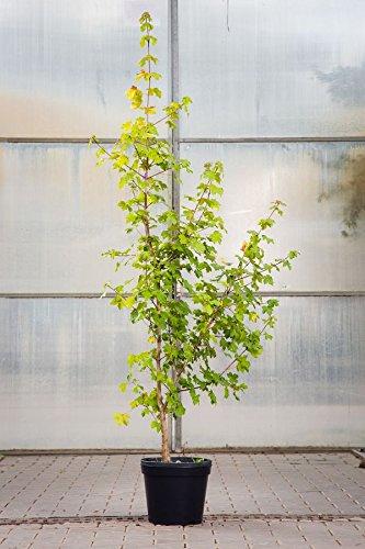 Feldahorn, 100-125 cm, im Topf (7,5 Liter), Zierstrauch gelb blühend, Solitär Baum für Sonne, Halbschatten und Schatten, Gartenpflanze winterhart, Acer campestre