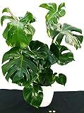 PHYLODENDRON PERTUSUM, MONSTERA DELICIOSA, en jarrón de cerámica, planta auténtica