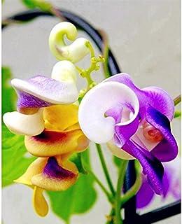 ¡Nueva llegada! Grandes promociones 50pcs rara Silla hermosa flor Caracol verde semilla de enredadera fácil de cultivar en...