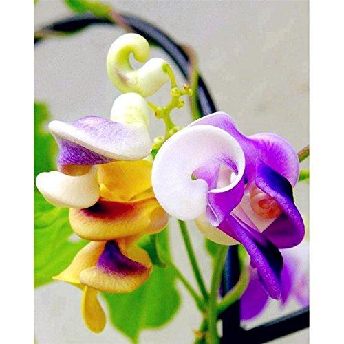 Nouvelle arrivee! Great Promotions 50pcs rare Silla beau vert fleur Escargot graine vigne facile à cultiver dans le jardin de la maison