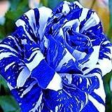 TOYHEART 100 Pezzi Semi Di Fiori Premium, Semi Di Rosa Rari Piante Da Giardino Bonsai Blu Prolifici Semi Di Fiori Per Balcone Blu