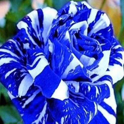 TOYHEART 100 Pezzi Semi Di Fiori Premium, Semi Piante Aromatiche, Semi Di Rosa Rari Piante Da Giardino Bonsai Blu Prolifici Semi Di Fiori Per Balcone Blu