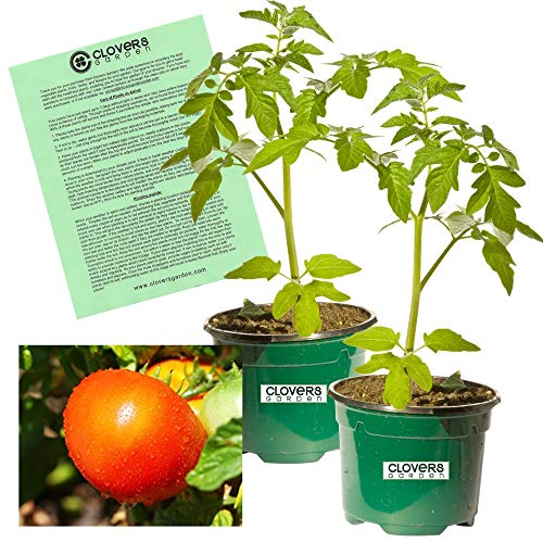 """Clovers Garden 2 Super Fantastic Tomato Plants Live – 4"""" to 7"""" Tall, 3.5"""" pots – Non-GMO, Indeterminate, Beefsteak, High Yields, Includes Copyrighted Clovers Care Guide"""
