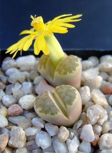 Lithops -Dorotheae-50+ Samen ***Lebende Steine*** Die schönste Lithops-Art