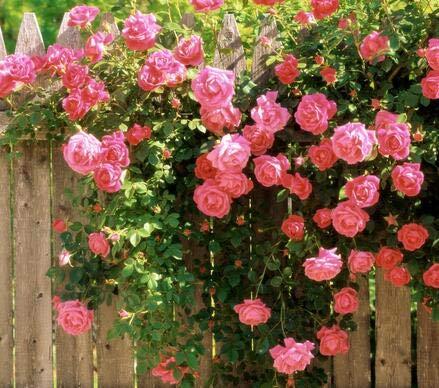 Shopvise Meistverkaufte hochwertige lila Kletterrose für Hausgarten 100 Samen/Pack: 2