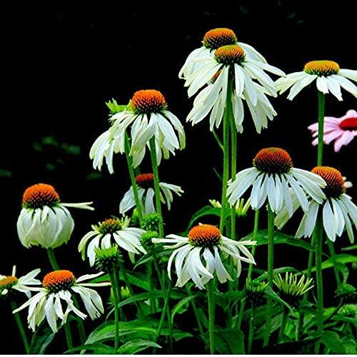 200Pcs Echinacea Samen...