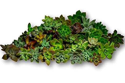 Fat Plants San Diego 45 Rosette Succulent Cuttings