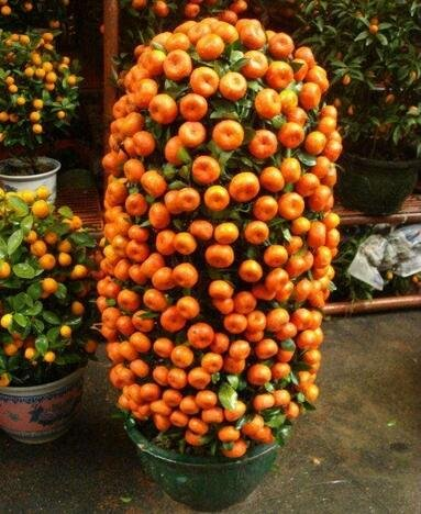 10pcs/lot Balcon Patio pot arbres fruitiers plantés Graines Kumquat Mandarine orange Citrus 1
