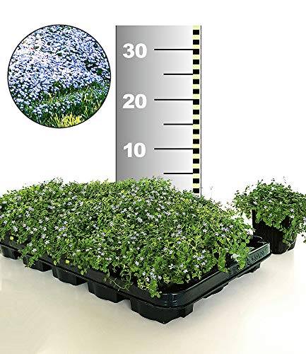 BALDUR-Garten Winterharter Bodendecker Isotoma 'Blue Foot®', 25 Pflanzen Isotoma fluviatilis trittfest, Blauer Bubikopf Gaudich Rasen-Ersatz