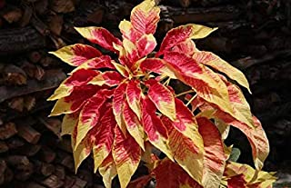 Tricolor Amaranthus Perfecta Early Splendor Seeds 40+ Beautiful Plant Flower for Home Garden Yards Planting