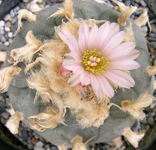 Lophophora williamsii v. texana - Peyote - San Pedro - 10 Samen