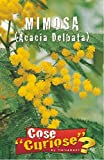 Semi - Mimosa (Acacia Delbata)