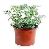 Sin marca Ruda (Maceta 10,5 cm Ø) - Planta Viva - Planta aromatica