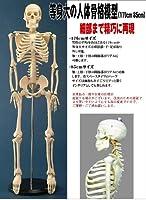 人体模型シリーズ 人体骨格模型85cm