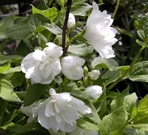 Gartenjasmin Manteau d`Hermine -...